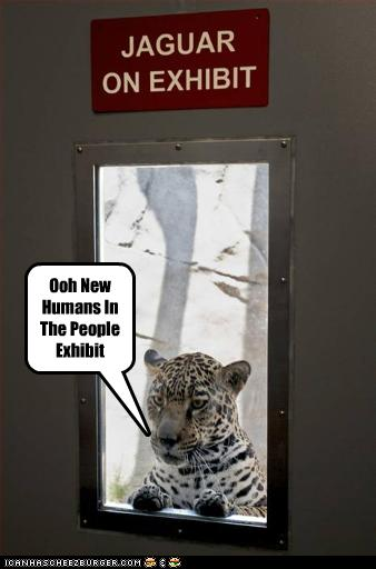 funny-pictures-leopards-see-human-exhibit