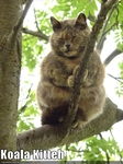 funny-pictures-cat-is-koala