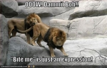 funny-pictures-lions-bite-eachother