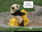 funny-pictures-panda-has-steed